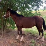 9 14 Bay Stallion 150x150